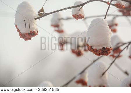Bunches Of Mountain Ash In Winter. Rowan In The Snow. Berries In The Snow. Bird Food In Winter. Berr