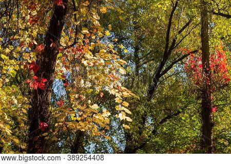 Stems Of Different Climbing Plants With Varicolored Autumn Leaves Twine Along The Trees Trunks In Fo