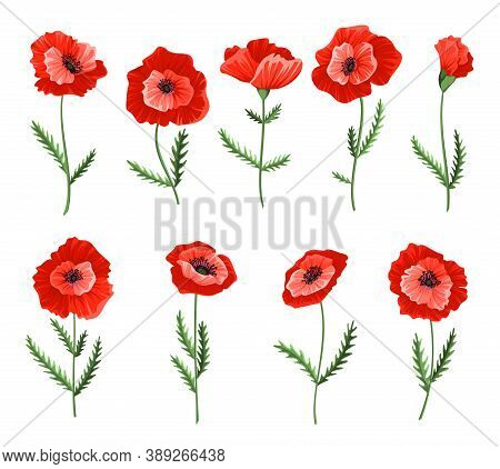Poppy Flowers. Collection Of Watercolor Hand Drawn Poppies. Isolated Botanical Symbols Of Blooming R