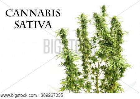 Cannabis Sativa. Flowering Female Marijuana Plant. Cannabis Sativa Flower. Marijuana is now Legal in most states for Recreational and Medical Use.