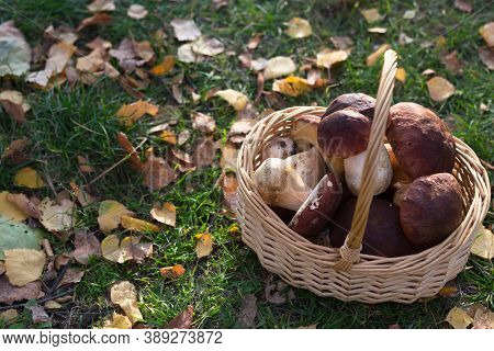 Freshly Picked Mushrooms In A Wicker Basket In A Forest Glade. Next To The Autumn Leaves.