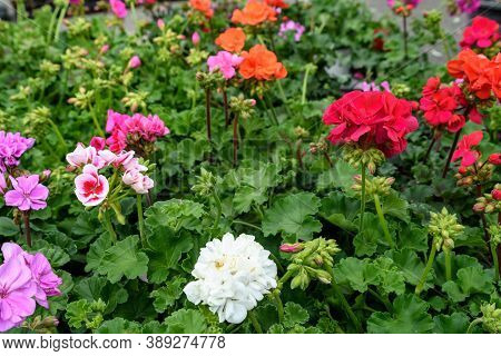 Group Of Vivid Pink, Red And White Pelargonium Flowers Known As Geraniums, Pelargoniums Or Storksbil
