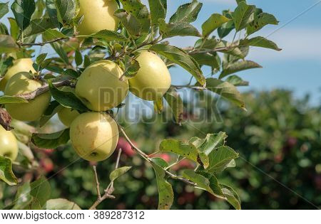 Apple Trees With Ripe Green Apples In The Garden On The Blue Sky Background. Traditional Collecting