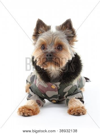 Yorkshire terrier in winter clothes poster