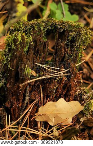 Green Moss On A Old Decrepit Piece Of Wood In A Forest