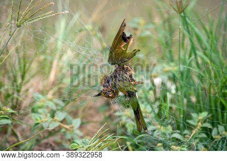 Bird Hang On Bird Net, It Was Caught By Bird Net , Bird Were Dead By Trapped In The Net.