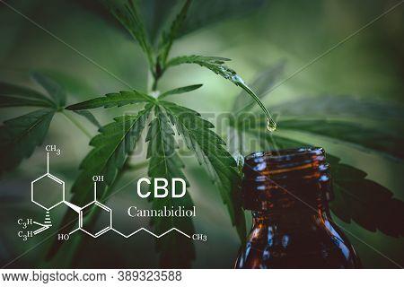 Cannabidiol Cbd Oil Chemical Formula. A Drop Of Hemp Oil That Comes Out Of The Hemp Leaf, Medical Ca