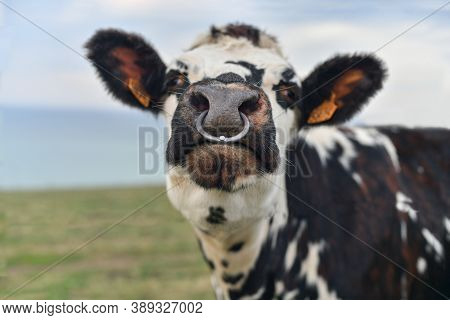 Spotted Cow With A Pierced Nose In Normandy