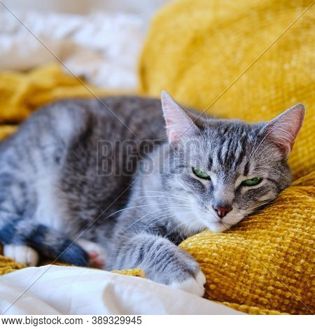 The Cat Purrs Lying On The Yellow Bed, Lifestyle Close Up