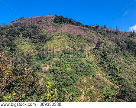 A Patch Of Purple Flowers Growing On A Hill At Munnar In Kerala, India.