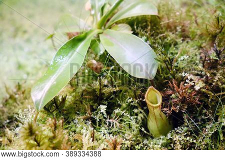 Nepentes, Or Pitcher - A Genus Of Predatory Plants Of The Monotypic Family Nepenthaceae., Lifestyle