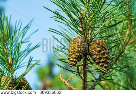 Two Closed Brown Lodgepole Pinecone On Pine Branch With Green Needles In Forest Of Mountains