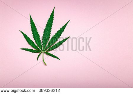Cannabis Leaf Weed Ganja Green Hemp Leaves On Pink Colour Background With Copy Space. Medical Mariju