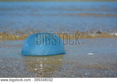 Side View Of Stranded Small Round And Blue 'cyanea Lamarckii' Jellyfish At Beach In North Netherland