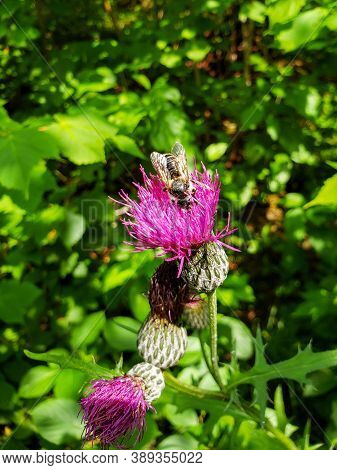 A Bee Searching For Pollen From A Marsh Thistle On The Baldy Mountain Hiking Trail, Duck Mountain Pr