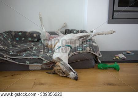 Fast Asleep, This Large Pet Greyhound Dog Assumes An Unusual Position, With Back Legs In The Air, Fr