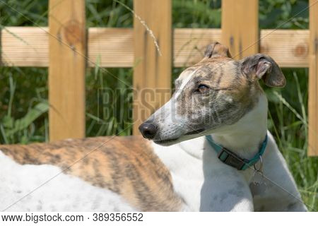 New Wooden Fence And Long Grass Behind A Healthy Pet Greyhound Dog Who Is Looking To The Left. Hot B