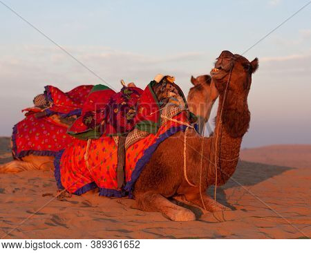 Beautiful Decorated Camels Waiting Tourists For Riding Over Dunes In Thar Desert Near Jaisalmer, Raj