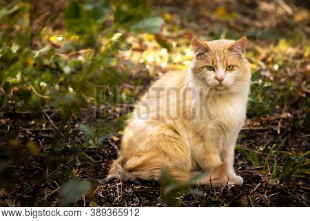 Very Fluffy Stray Cat In An Autumn Setting, The Problem Of Stray Animals