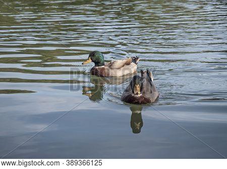 Two Ducks Swimming In Water. Waterfowl Birds