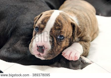 Staffordshire Terrier One-month Puppy Dog. Young Dog Lying On His Dog Mom\'s Leg On White Blanket Wi