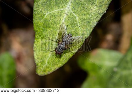 Common Flesh Fly (sarcophaga Carnaria) Sitting On An Ivy Leaf In The Woods