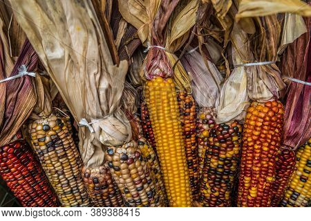 Variety Of Colorful Indian Corn With The Husk Bundled Together For A Seasonal Fall Holiday Decoratio