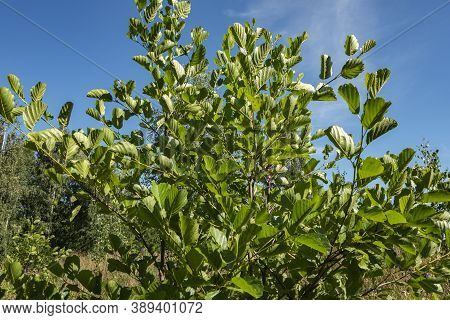 A Young Alder Tree With Beautiful Green Foliage On Branches. Nature - Close-up Tree