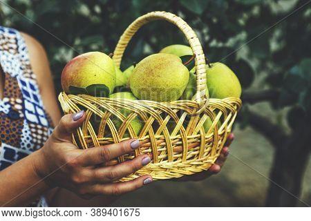 Wicker Basket With Pears In Women's Hands, Gardener's Hands Holding A Pear Crop. Pear Harvest.