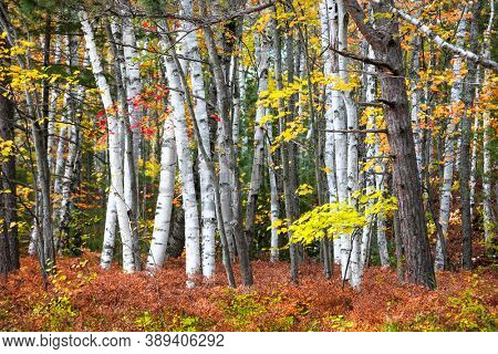 Red Maple tree between silver birch trees in the forest in Michigan upper peninsula