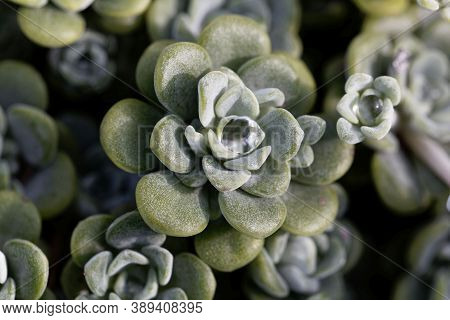 Leaves Of A Broadleaf Stonecrop, Sedum Spathulifolium