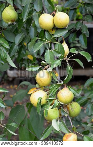 Branches Of A Pear Tree With Ripe Juicy Fruits.