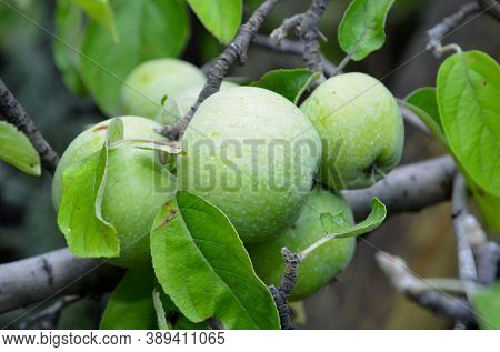 Ripe Apples Of The Semerynka Variety Grow On The Branches Of A Tree.