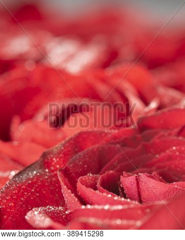 Red Natural Fresh Roses Background Pattern, Macro Studio Shot With Water Drops