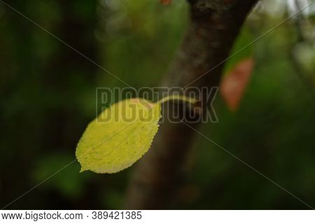 Yellow Autumn Leaf Grow From Thee Trunk In The Forest.