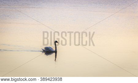 Backlit Image Of The Silhouette Of A Swan Swimming In The Calm Water Of A River Early In The Morning