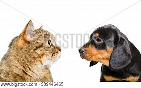 Portrait Of A Cat Scottish Straight And A Puppy Breed Slovakian Hound, Looking At Each Other, Closeu
