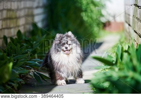 Pomeranian Spitz Dog In Garden Grass. Cute Pomeranian Puppy On Walk. Funny Family Friendly Spitz Pom