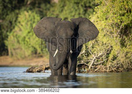 Female Elephant Standing In Water In Golden Afternoon Sunlight In Chobe River In Botswana