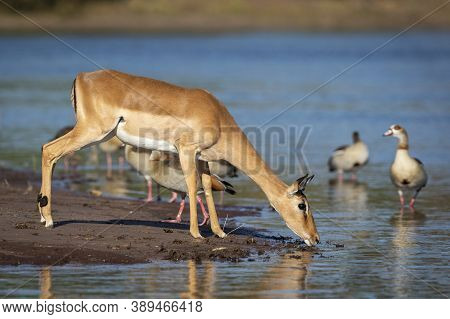 Female Impala Standing At Edge Of Water Drinking In Chobe River In Botswana With A Group Of Egyptian