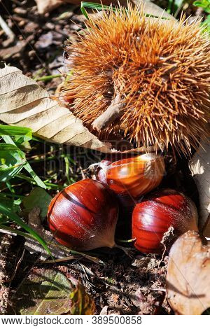 Close Up Of Three Chestnuts Lying On Ground Next To Spiky Bur. Autumn, Forest Food And Nature Concep