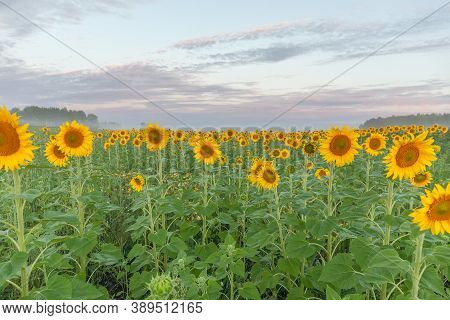 Colorful Sunflower With Bright Blue Sky. Selective Focus