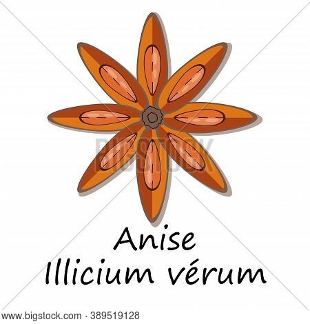Star Anis ( Illicium Verum) Indian Herb For Seasoning Food. Spice  For Aromatherapy. Vector Illustra