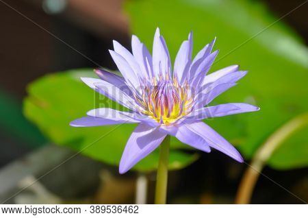 Lotus Or Florescent Purple Lotus In The Pond