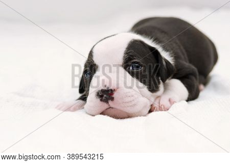 Staffordshire terrier one-month puppy dog. Sleepy young puppy dog lying on white blanket. Puppy dog looking at camera with puppy dog eyes. One month puppy dog. American Staffordshire terrier puppies. Black and white puppy. One-month puppy