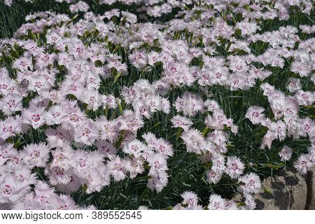 Large Number Pf Light Pink Flowers Of Dianthus Deltoides In Mid May