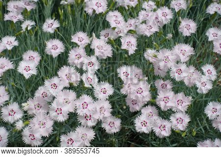 Multiple Light Pink Flowers Of Dianthus Deltoides In May