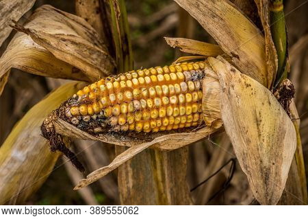 A Forgotten Ear Of Corn Left In The Husk To Rot Away On The Corn Stalk After Harvest In Autumn Close