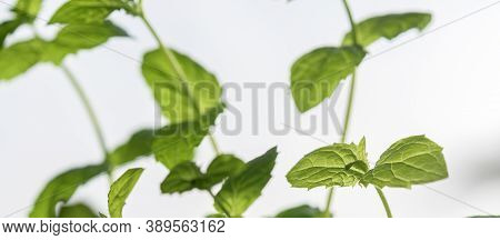 Stems Of Spearmint On A Light Background, Close-up.