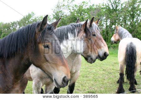 Draft Horse Group